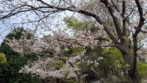 20200331_桜